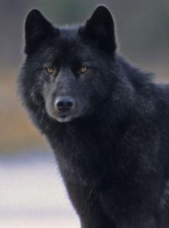 Wolf-Romeo-Alaska