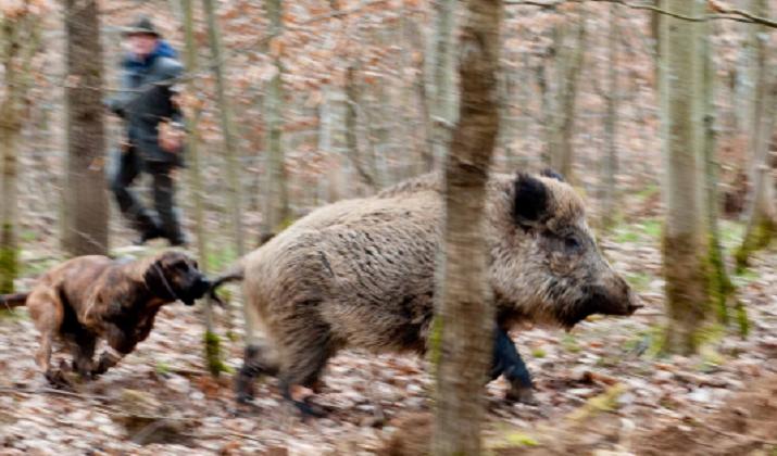 wildschweingatter2