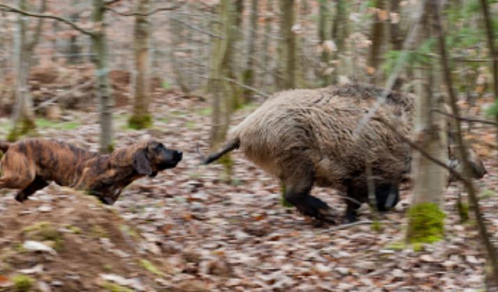 wildschweingatter3