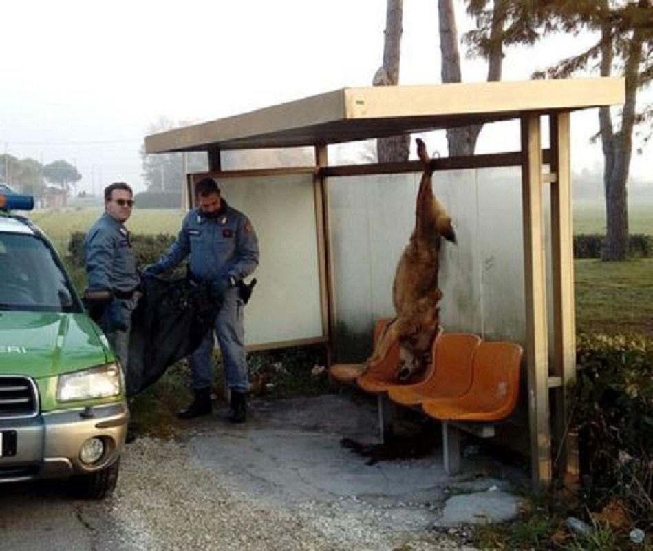 Lupo ucciso con arma da fuoco appeso per zampe a fermata bus Coriano, nel Riminese