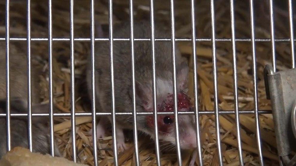 2014-08-06-maus-verletzung-zoohandlung-happymice-delbrueck-standbild003-c-peta-d