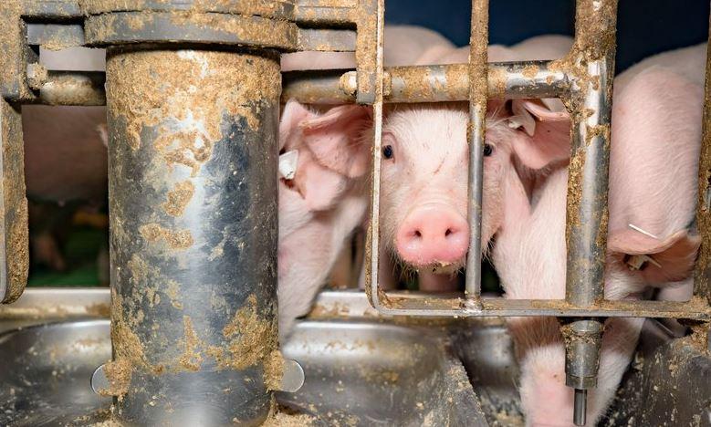 Schweine-arme