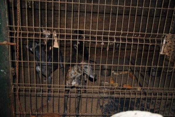 Galgos-Greyhound-chasse-1