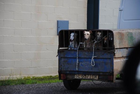 Galgos-Greyhound-chasse-10