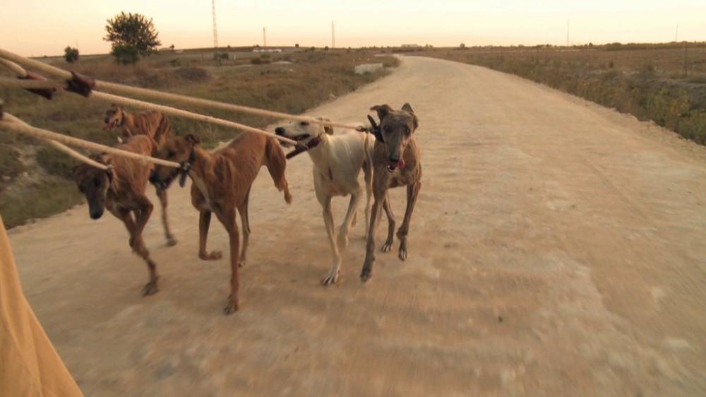 Galgos-Greyhound-chasse-11-1024x576