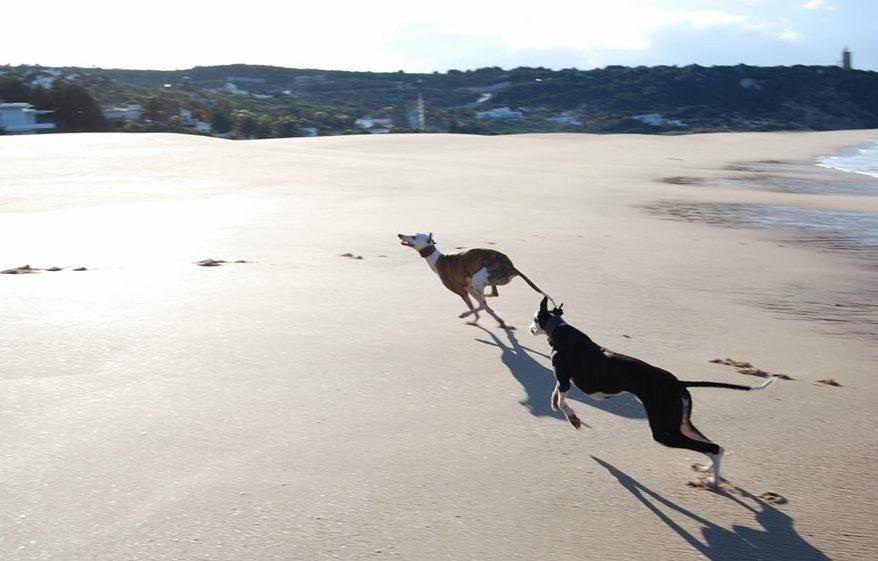 Galgos-Greyhound-chasse-19