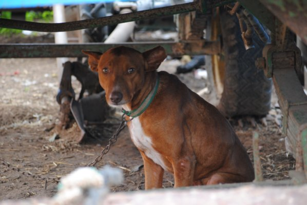Galgos-Greyhound-chasse-7