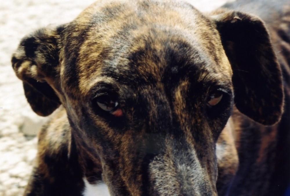 Galgos-Greyhound-chasse-9-1024x695