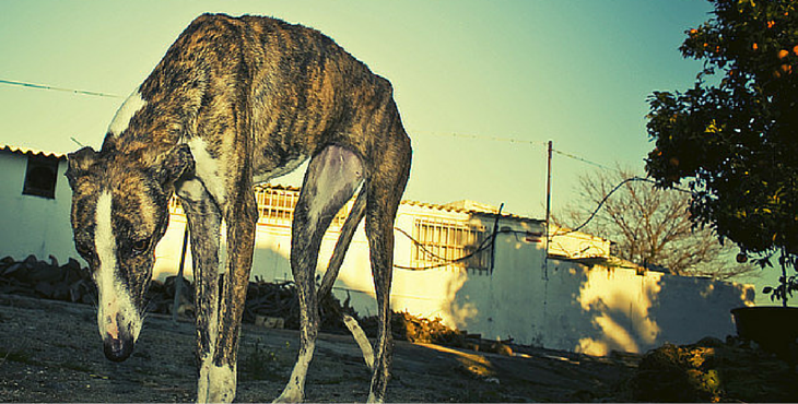 Galgos-Greyhound-chasse-cover