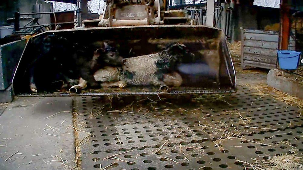 vitelli-strappati-allevamenti-mucche-latte_essereanimali