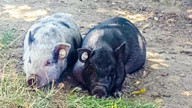 minischweine-106-resimage_v-variantsmall16x9_w-640