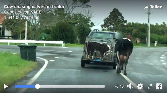 Kuh-rennt-Kindern-nach_1