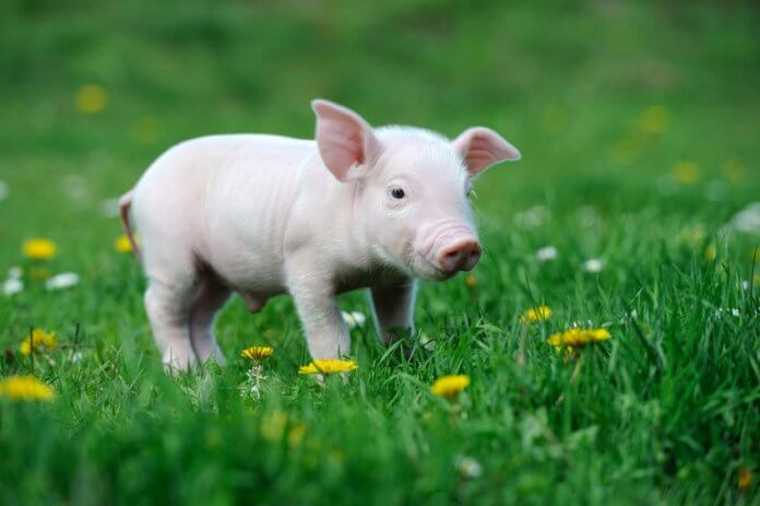 38879181-young-pig-on-a-spring-green-grass-696x463