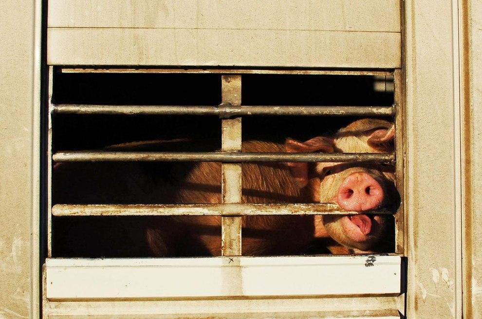 2016-12-29-schweinetransporter-bocholt-dsc_7865-c-peta-d