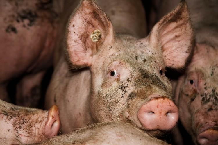 2011-09-16-schweinemast-bremen-_mg_3896-c-peta-d_l