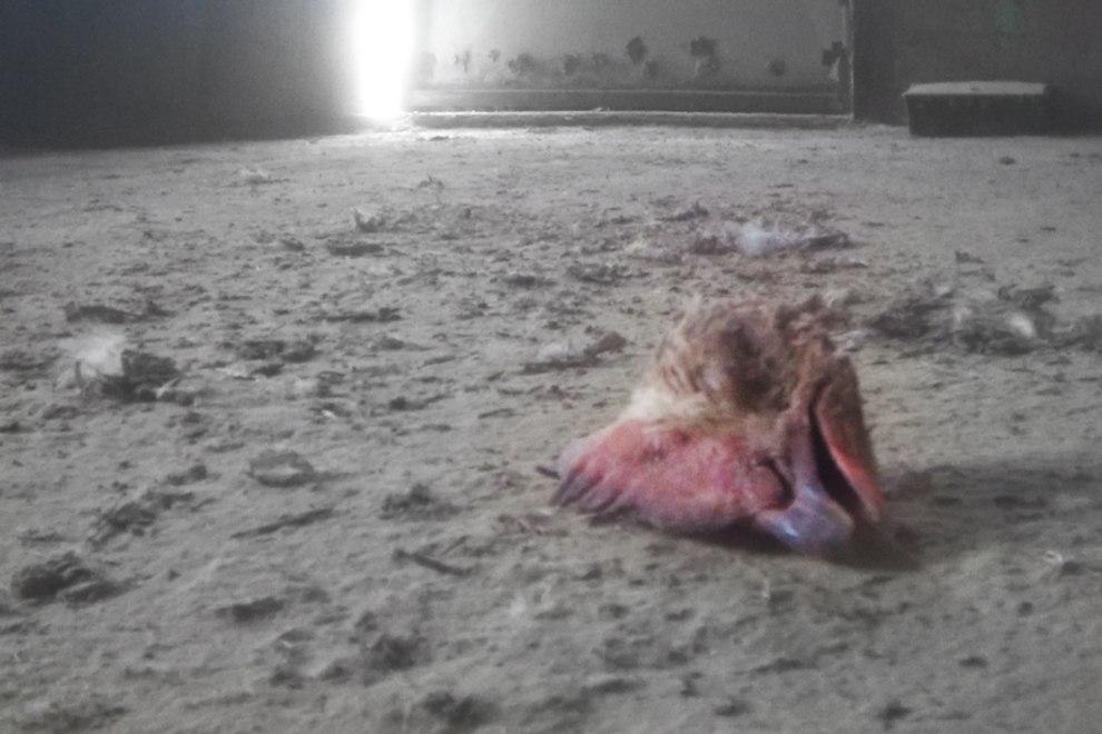 2019-03-07-huehnerhaltung-schlachtung-australien-kopf-c-peta-asia