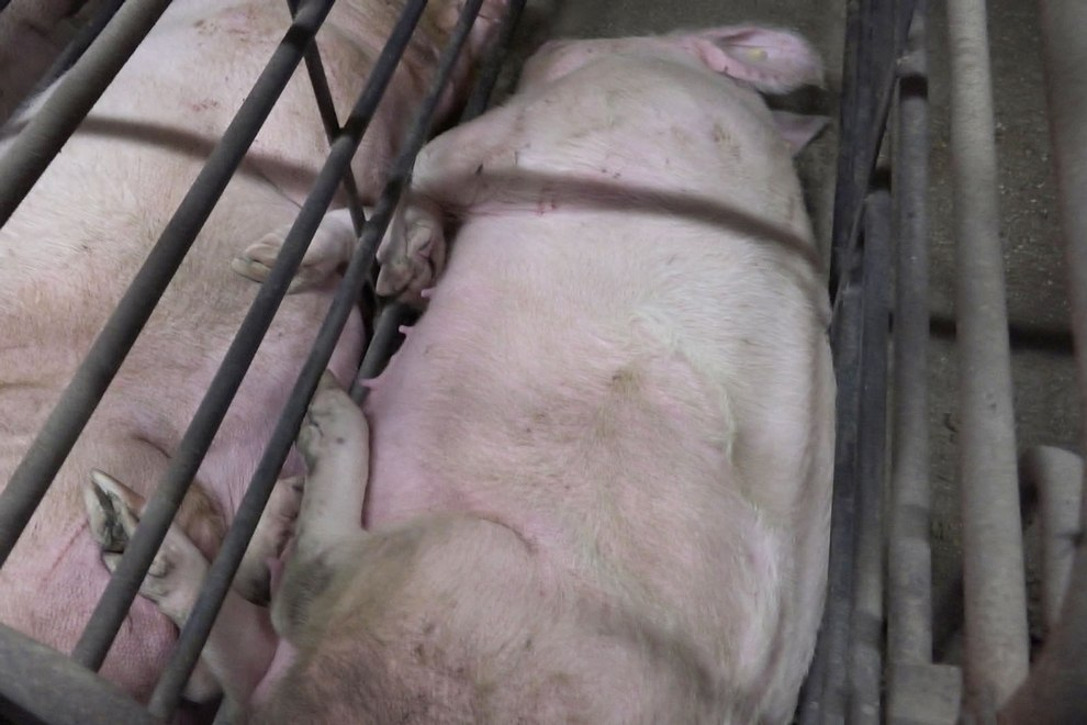 2016-11-092b11-suimax-schweinezucht-greiz-gommla-screenshot-01-c-peta-d