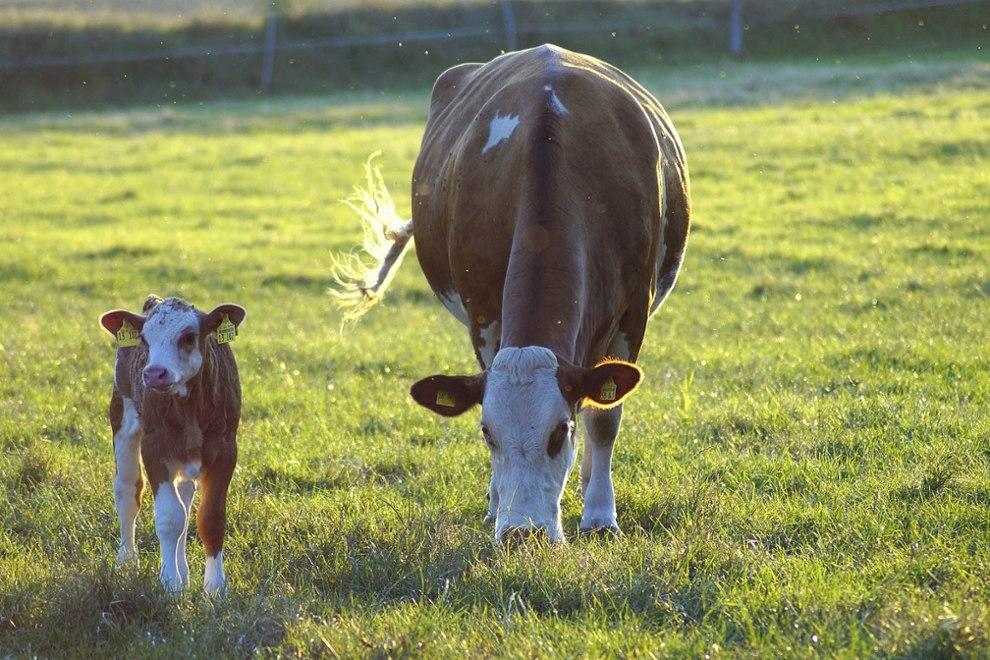 cow-4370261_1920