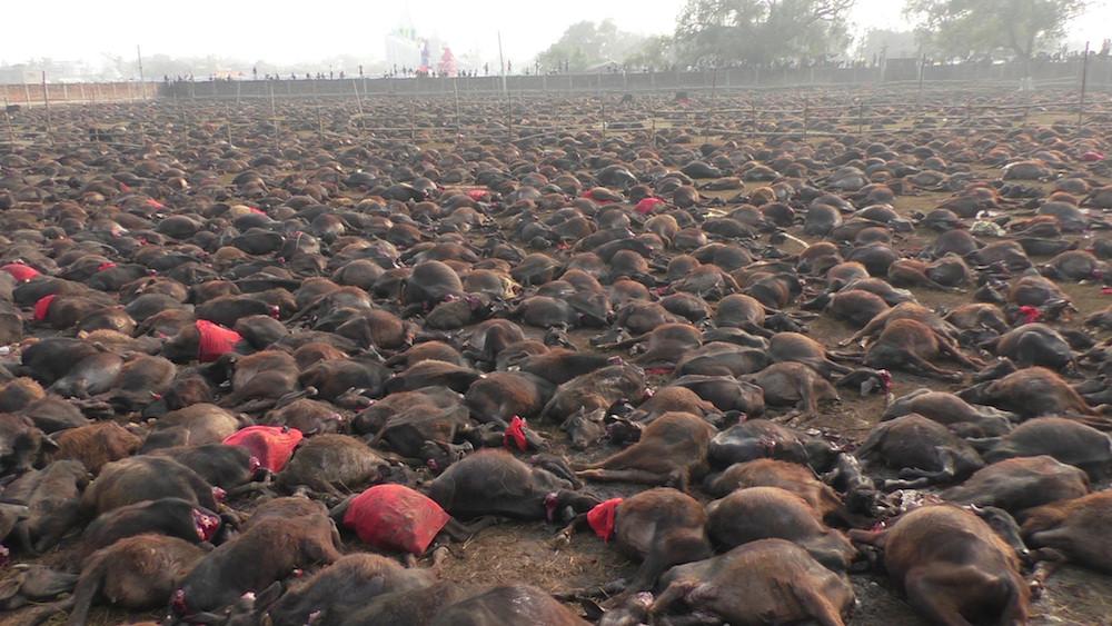 das-blut-reicht-bis-zu-den-knoecheln-opferfest-gadhimai-948-body-image-1417447956