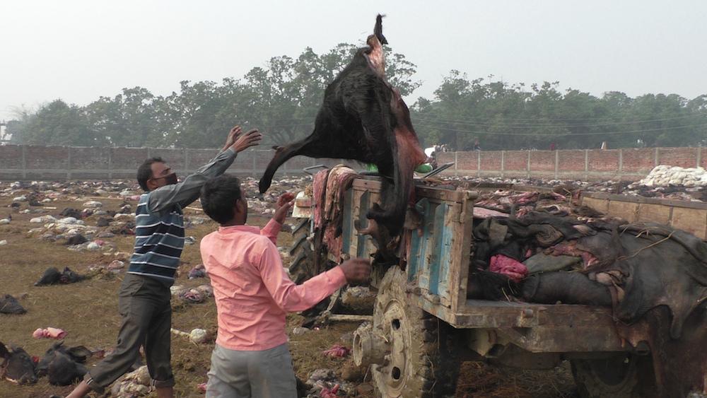 das-blut-reicht-bis-zu-den-knoecheln-opferfest-gadhimai-948-body-image-1417447967
