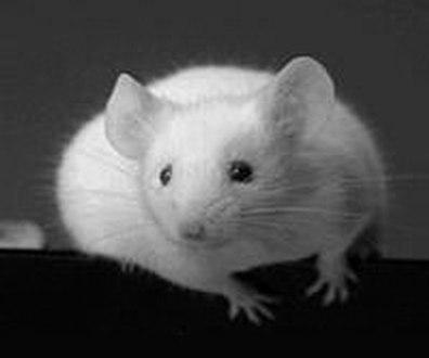 ratten_2