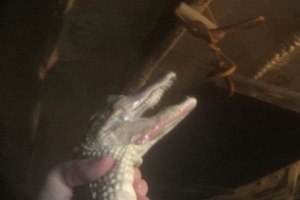 2014-alligatoren-farm-exotenleder-texas-usa-06-c-peta-usa
