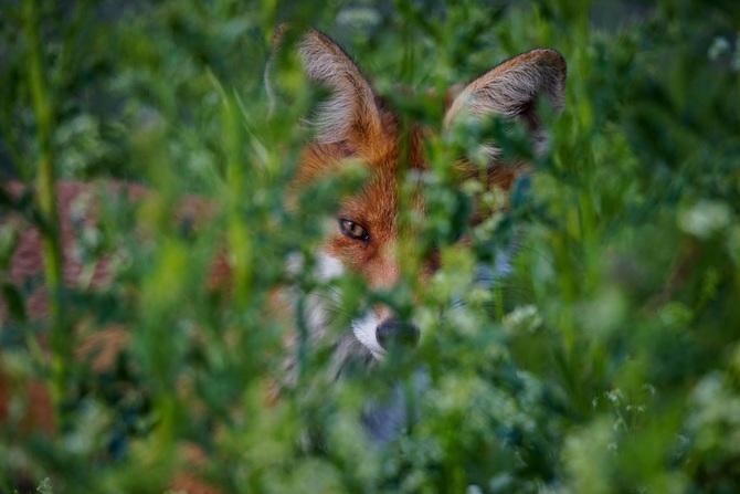 Fuchs-wild-b-wild_oie