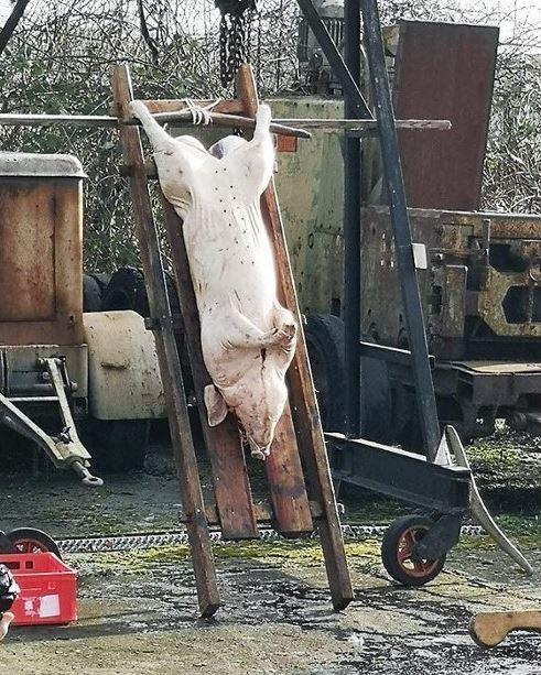schlachten-Schwein-Bay-Frank-Pfalz