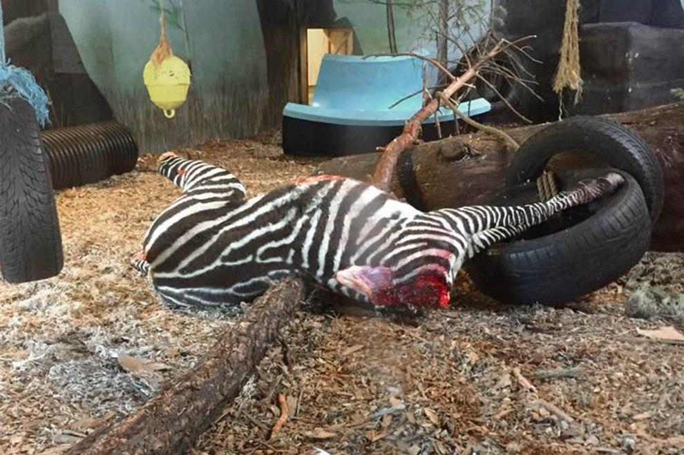 2016-04-gekoepftes-zebra-zoo-kristiansand-dyrepark-c-peta-uk