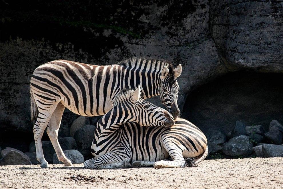 zebra-4258909_1920-pixabay
